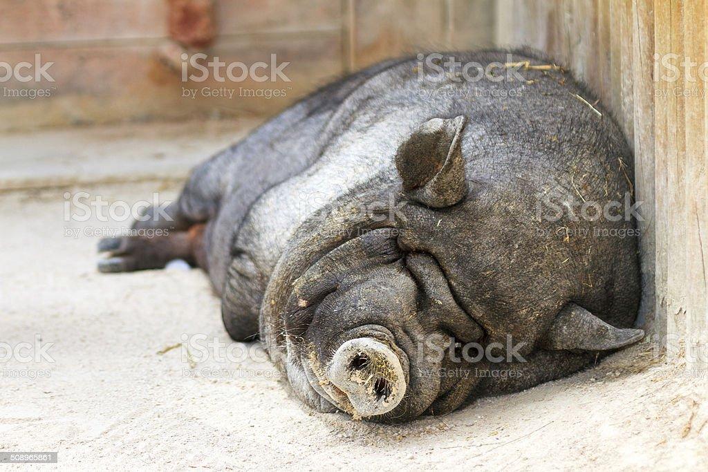 Lazy pot-bellied pig stock photo