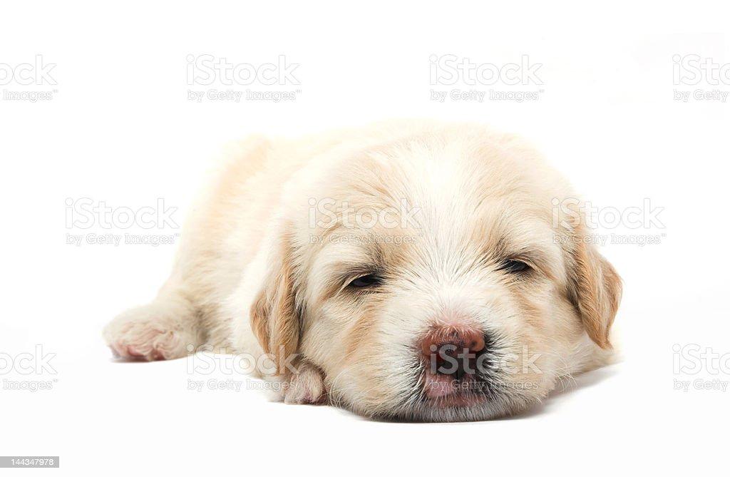 lazy  puppy stock photo