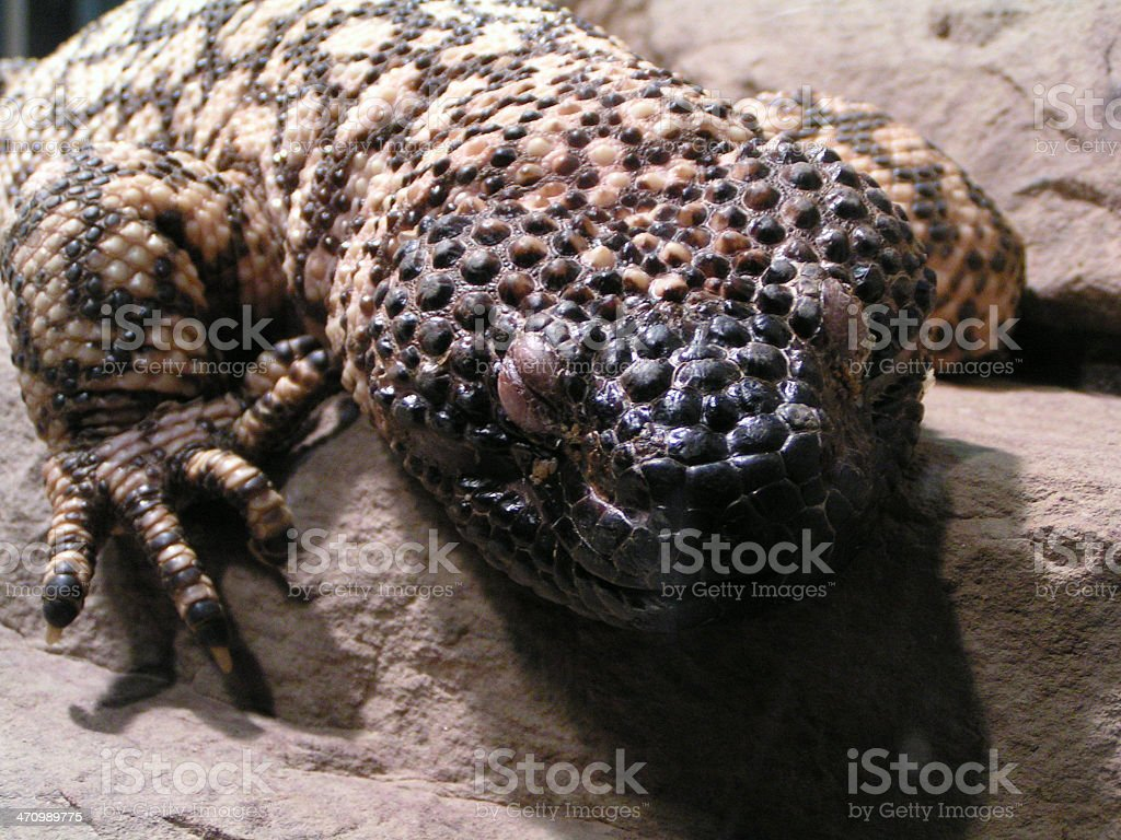 lazy reptile royalty-free stock photo