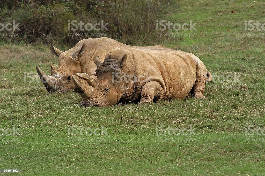 lazy rhinos basking in the sun royalty-free stock photo