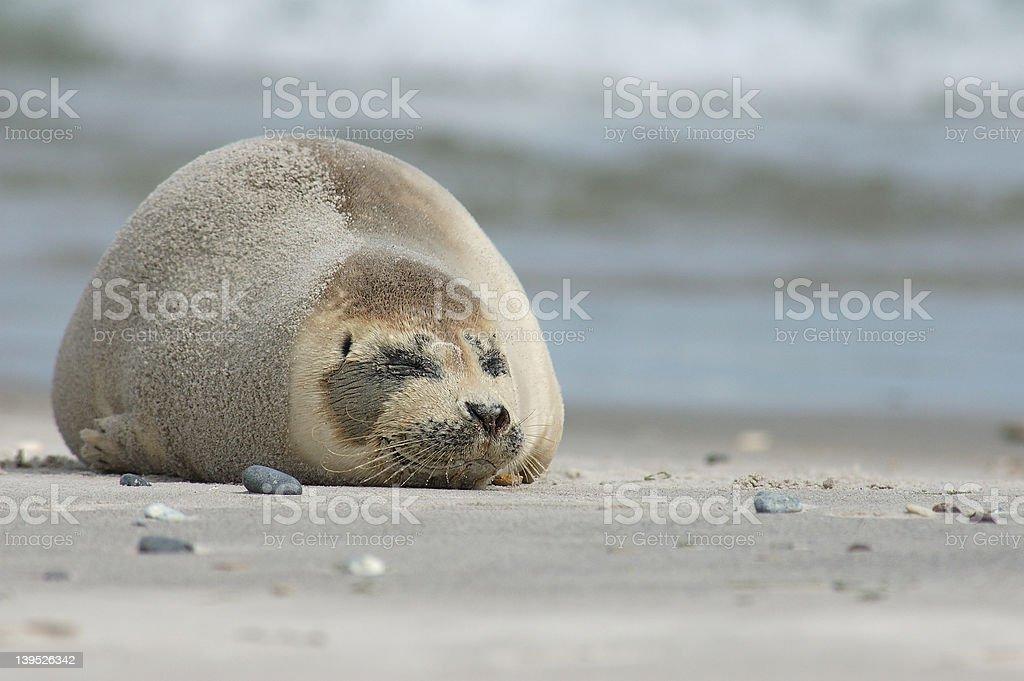 Lazy Seal royalty-free stock photo