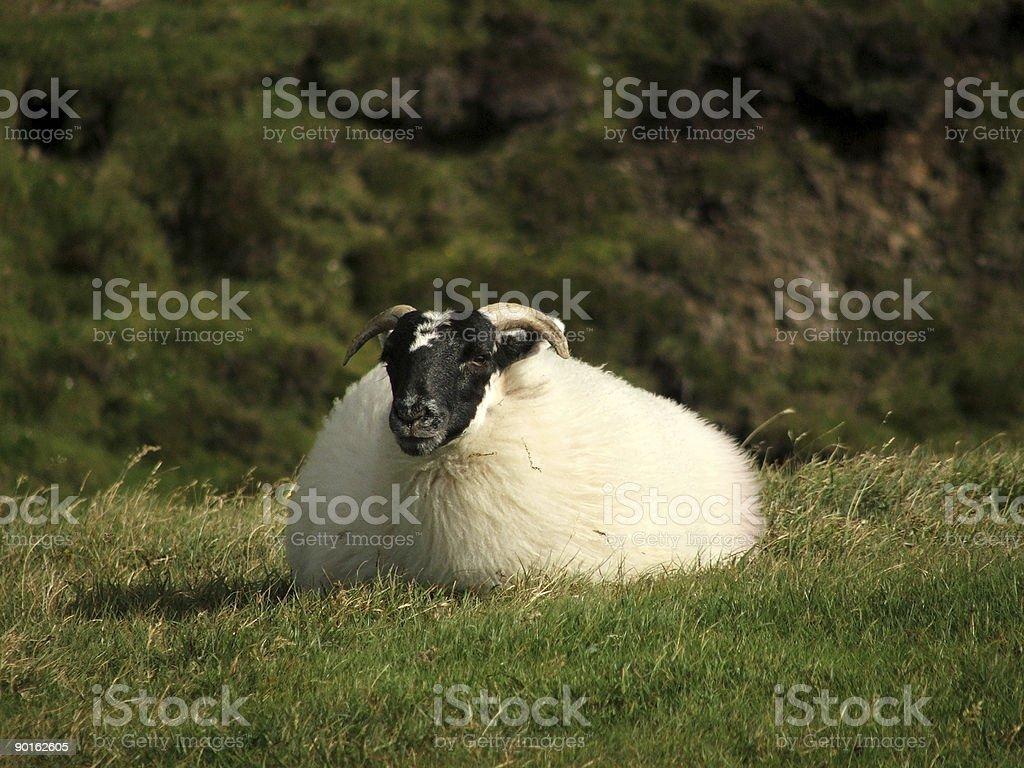 Lazy Sheep stock photo