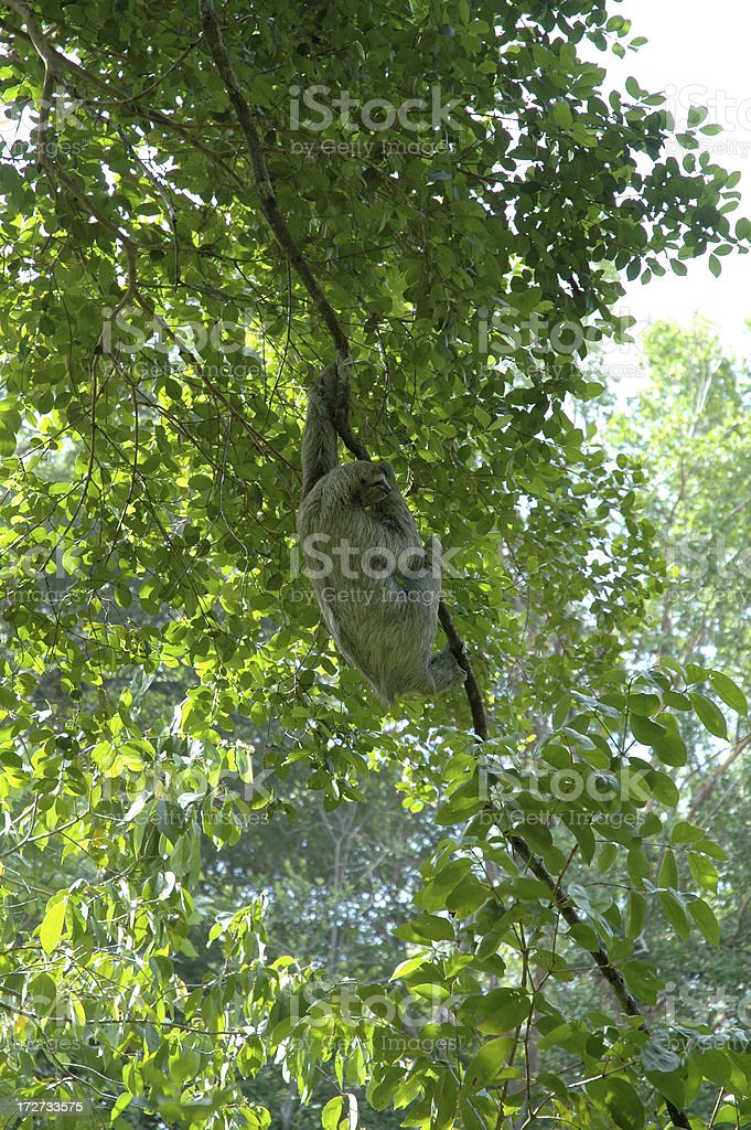 Lazy sloth in Costa Rica stock photo