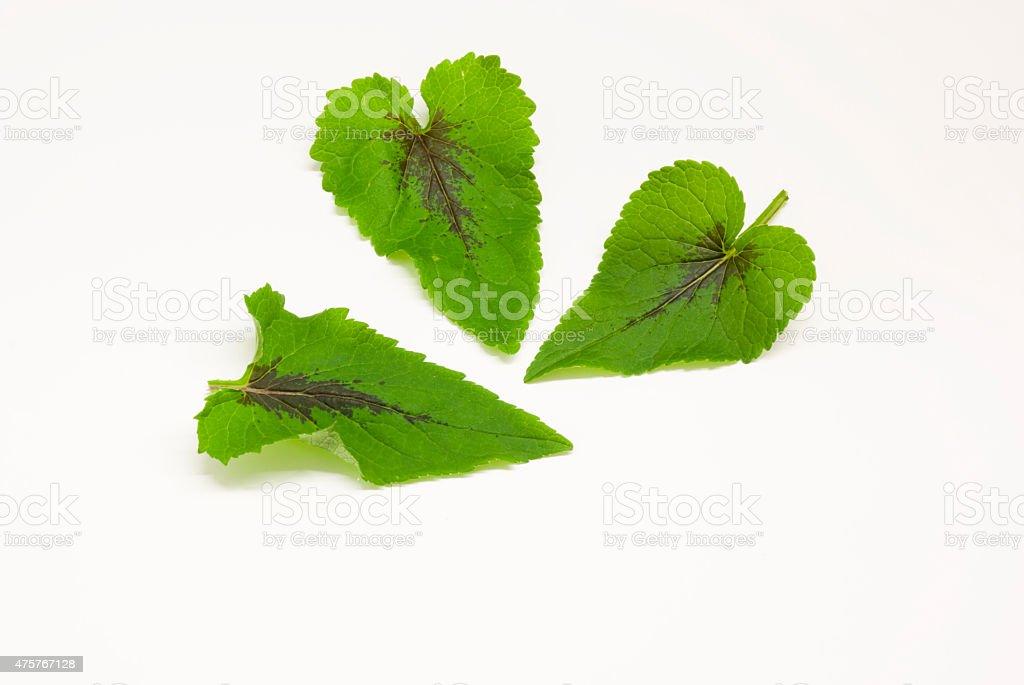 le foglie di ayucche,erbe alpine con la macchia nera stock photo