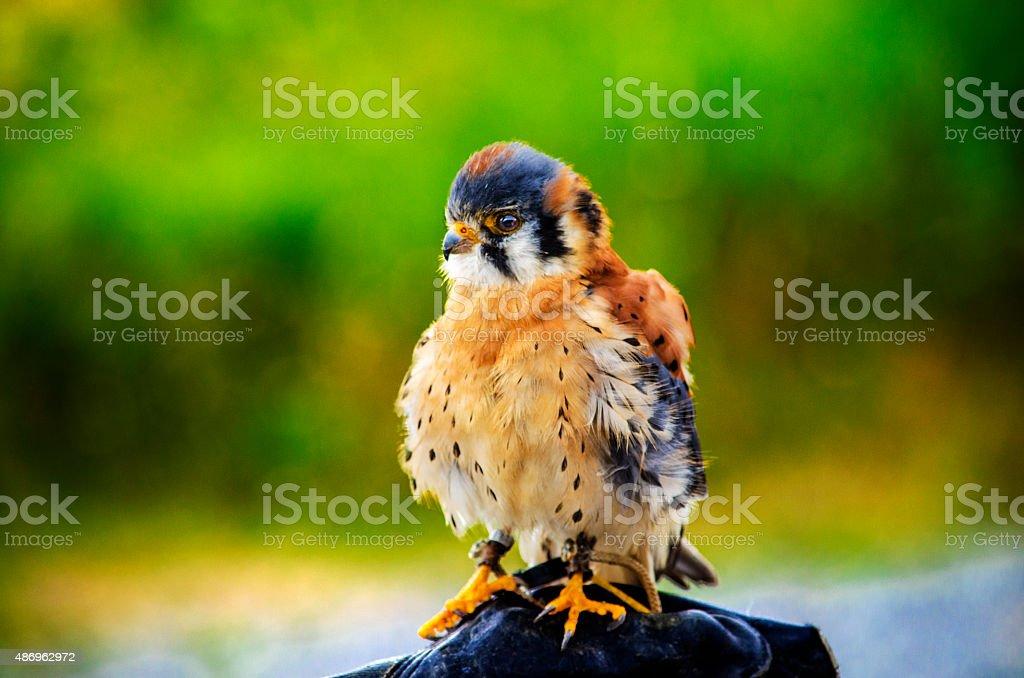 Le petit faucon stock photo