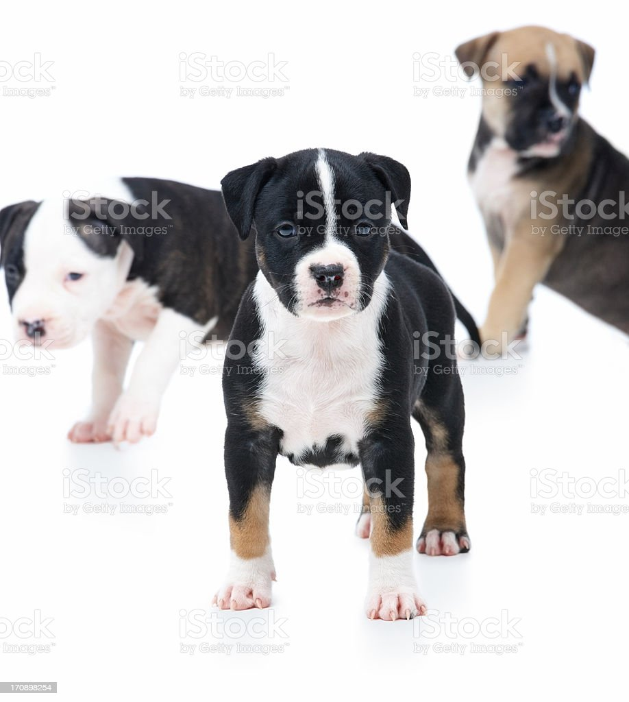 Leader of the pack - group of puppies playing royalty-free stock photo