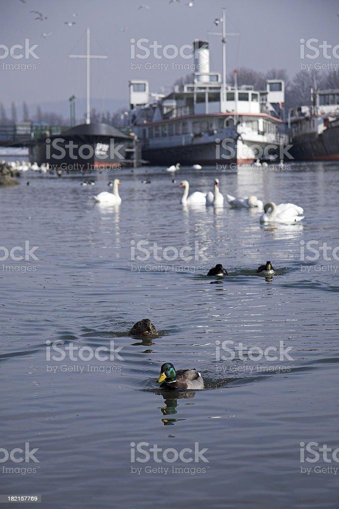 'leadership of the ducks' stock photo