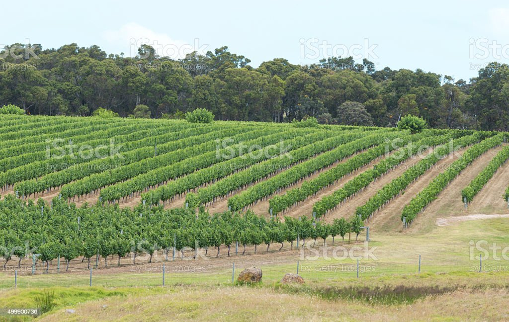 Leading Lines of Lush Green Vineyards on a Slope stock photo