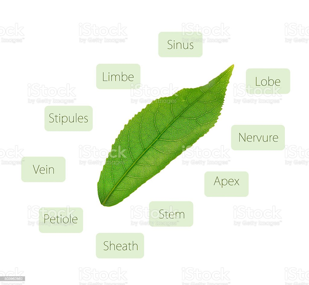 Leaf anatomy diagram stock photo