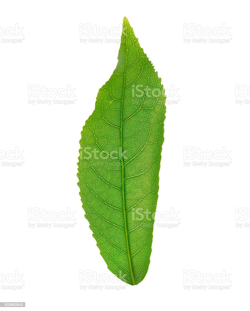 Leaf anatomy stock photo