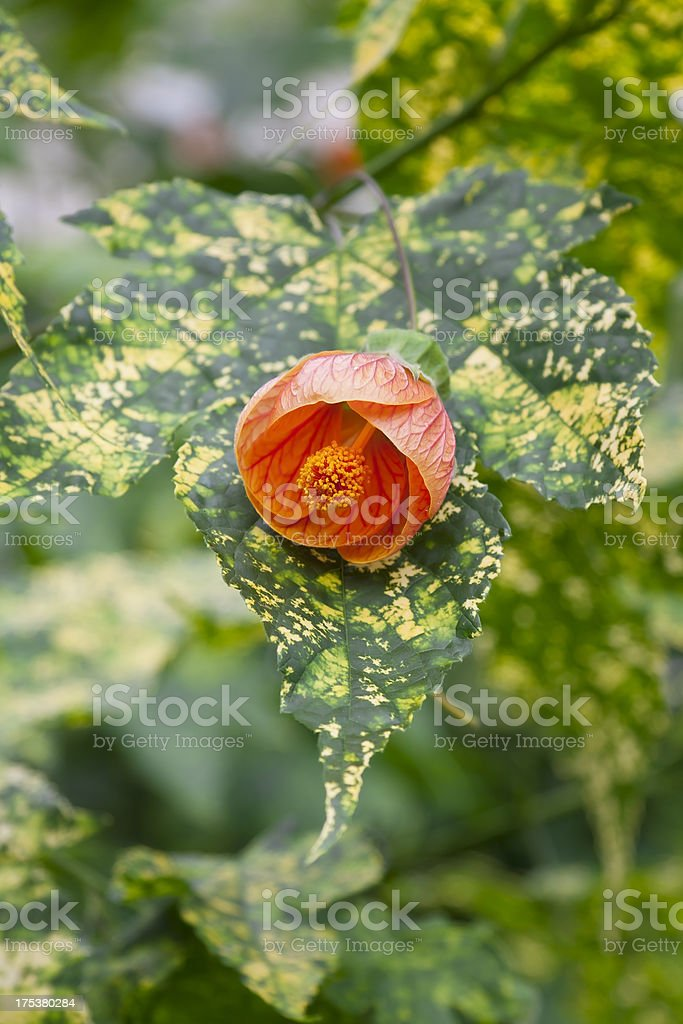 Leaf and blossom of an Abutilon Flower. stock photo