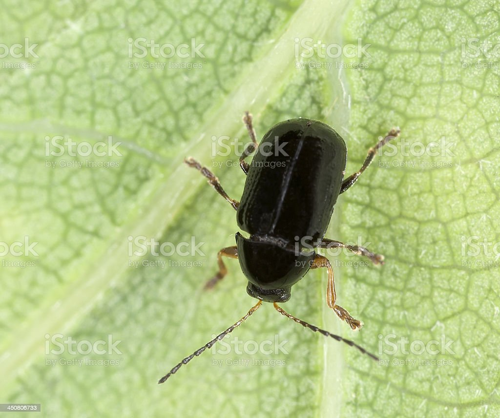 Leaf beetle, Cryptocephalus labiatus stock photo
