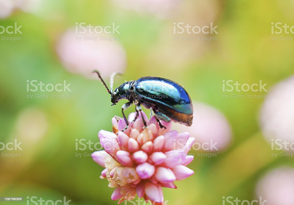 Leaf beetle on spiny pink flower. stock photo