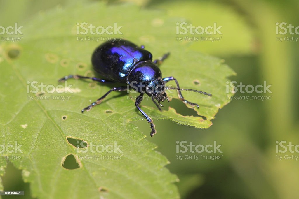 leaf beetles stock photo