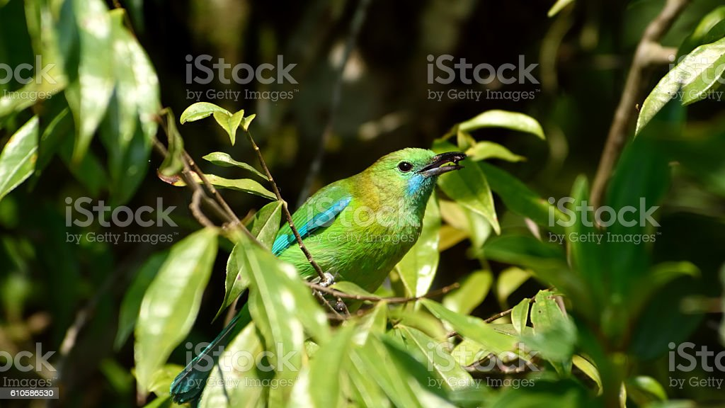 Leaf bird eating fruits on the tree stock photo