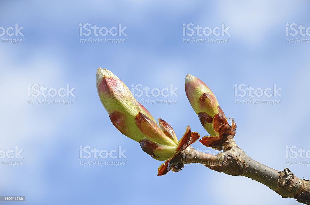 Leaf buds of chestnut tree branch against sky royalty-free stock photo