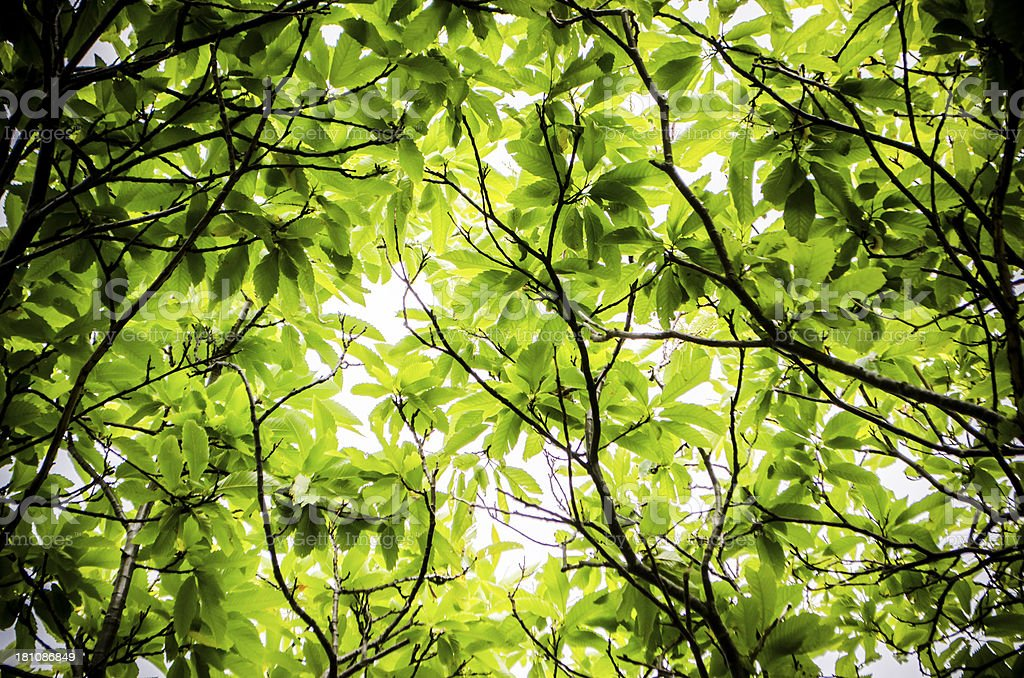 leaf canopy royalty-free stock photo