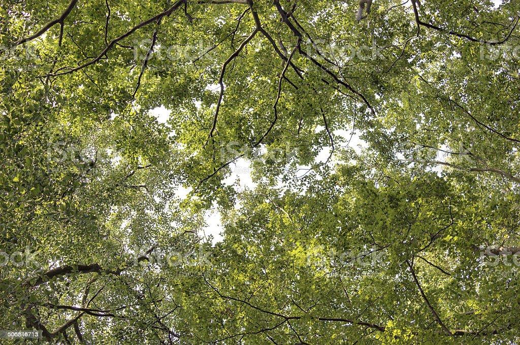 Leaf Canopy stock photo