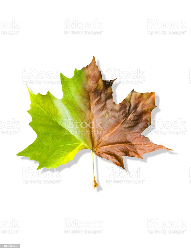 Leaf changing colour from green to red and brown stock photo