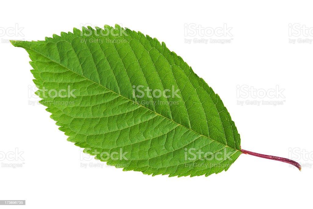 Leaf Cherry royalty-free stock photo