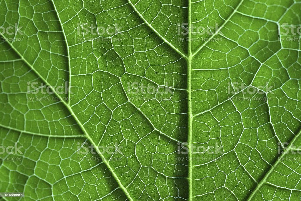 leaf close-up photograph from back view royalty-free stock photo