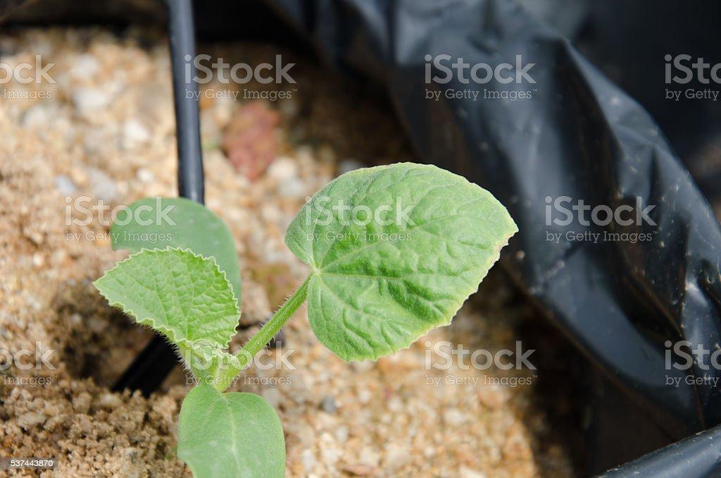 Leaf curl viruses stock photo
