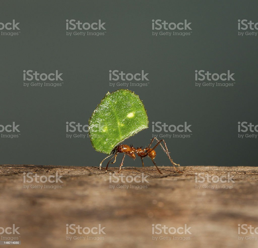 Leaf cutter ant royalty-free stock photo