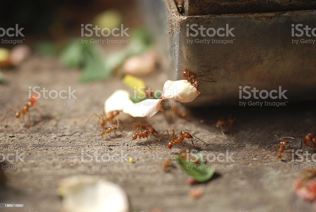 Leaf Cutter Ant (atta sp.) royalty-free stock photo