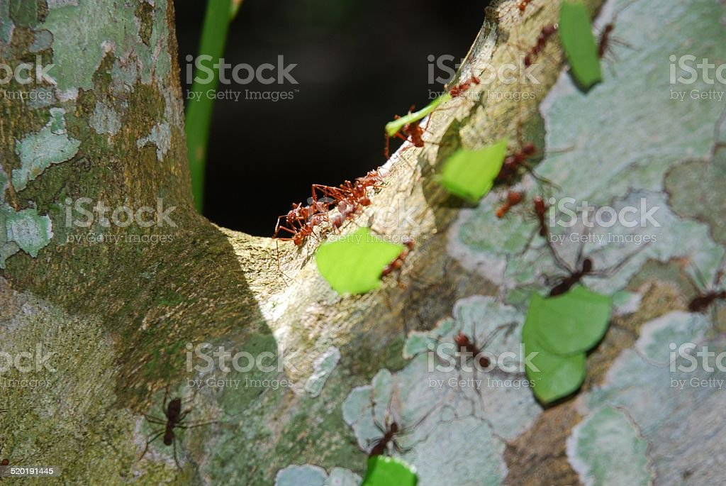 Leaf Cutter Ants at Work royalty-free stock photo