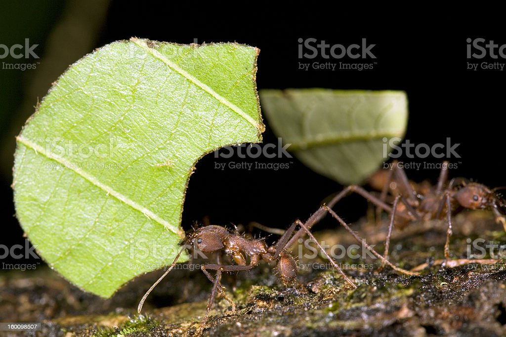 Leaf cutter ants (Atta sp.) royalty-free stock photo