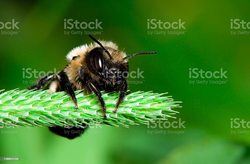 Leaf cutter bee stock photo