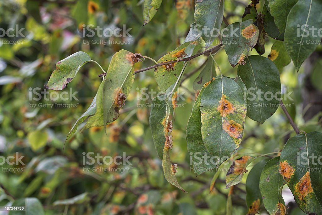 leaf disease on a tree stock photo