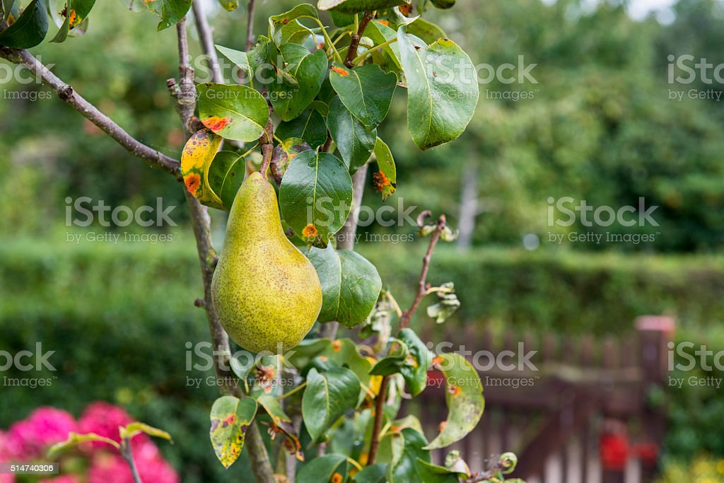 Leaf disease - pear rust stock photo