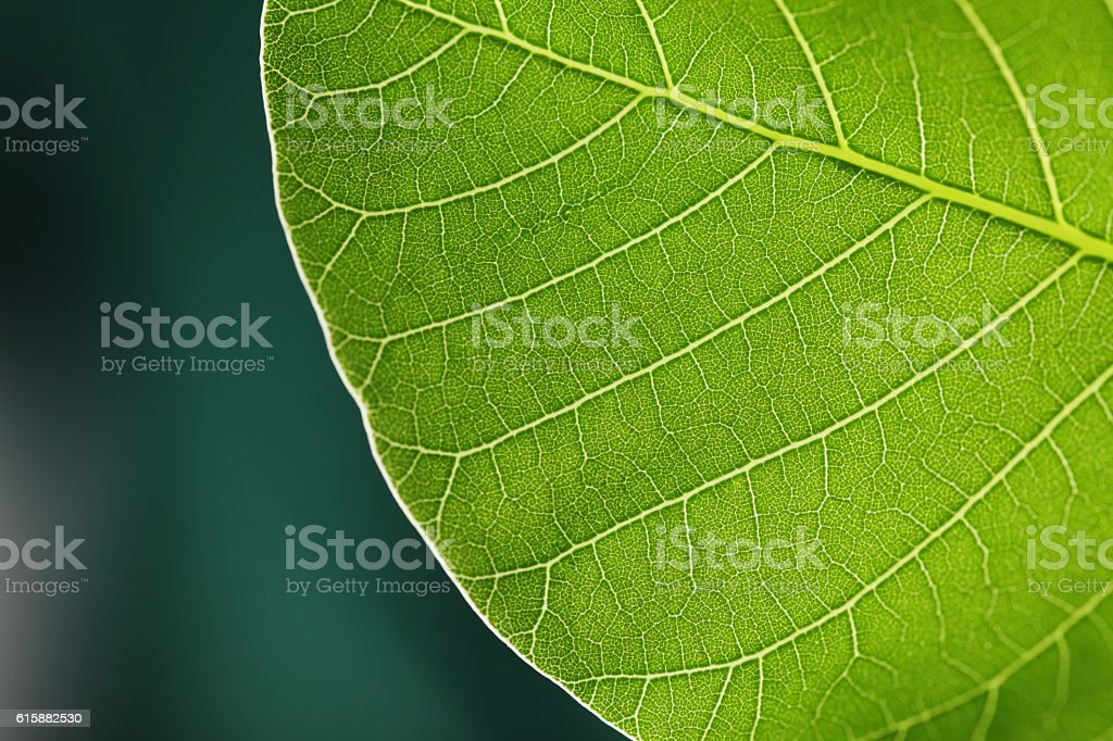 Leaf extreme close up with green copy space stock photo