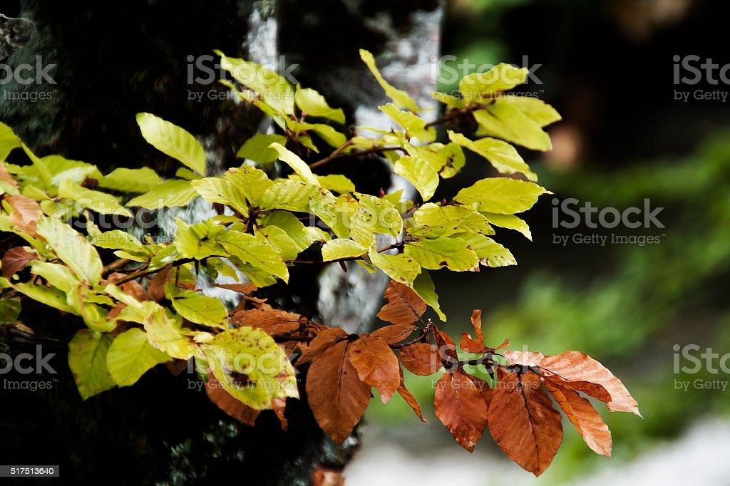 leaf Fagus sylvatica stock photo