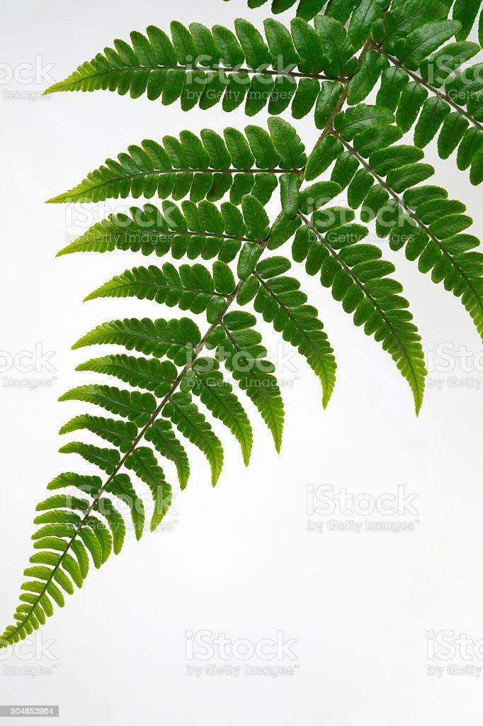Leaf fern isolated on white background stock photo