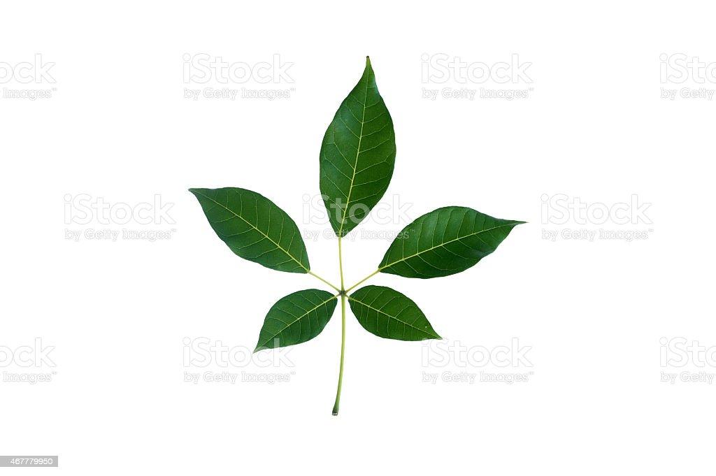 (Tabebuia rosea (Bertol.) Bertero ex A.DC.), leaf form and textu stock photo