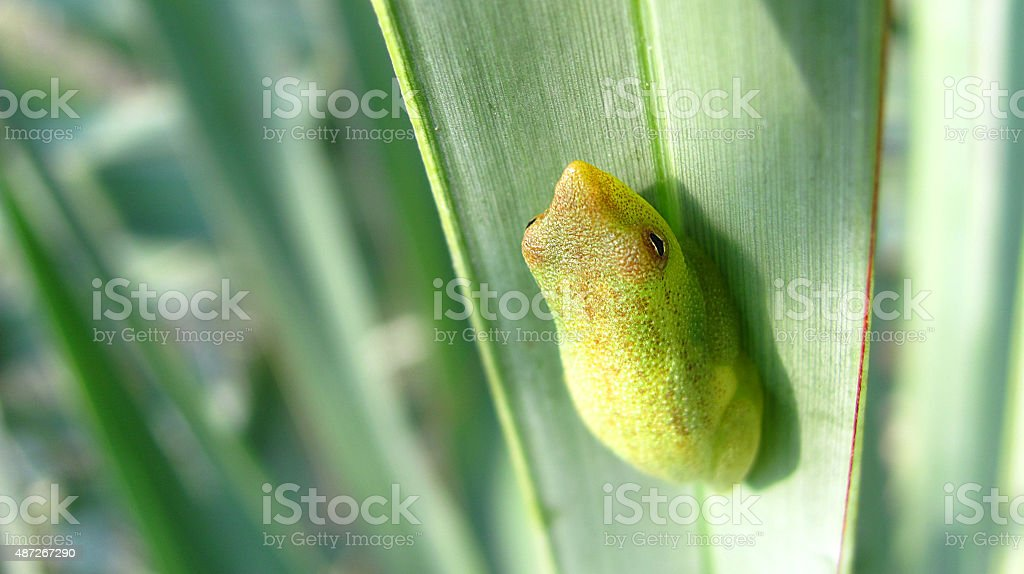 Leaf frog in the Okavango Delta, Botswana stock photo