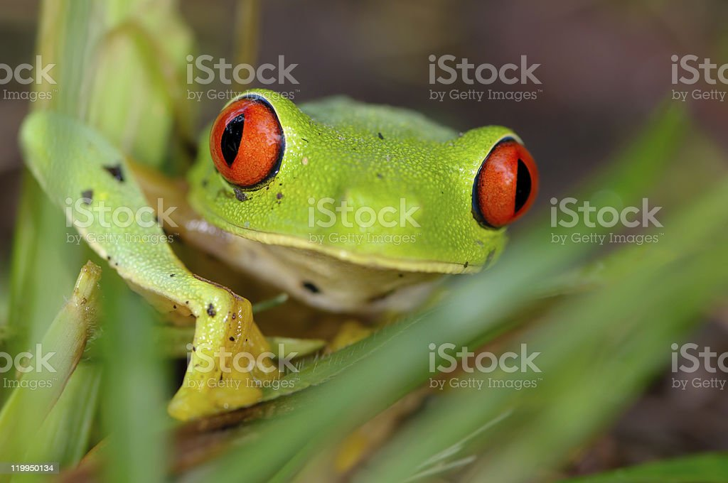 Leaf Frog with Red Eyes stock photo