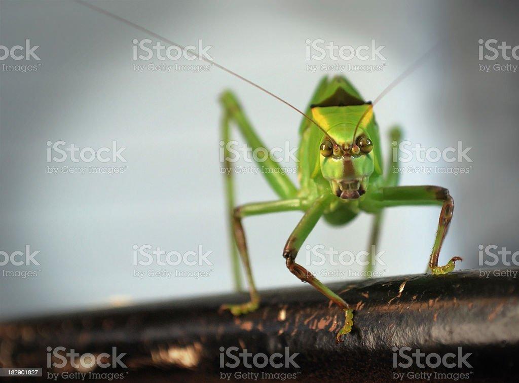 Leaf Grasshopper (Katydid) Against a Spotlight Background stock photo