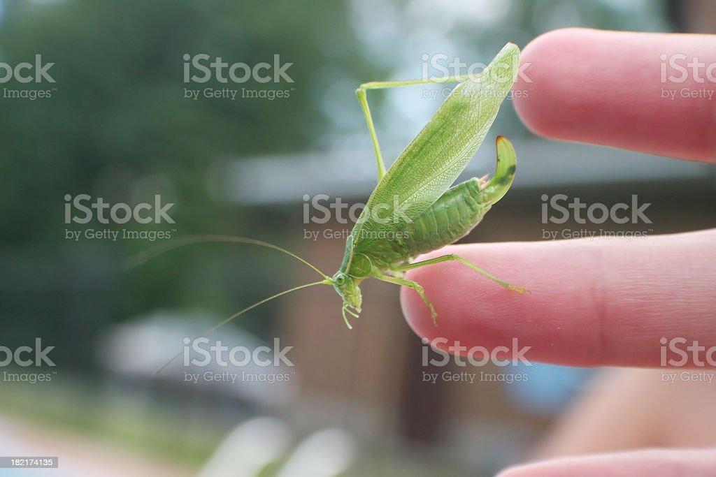 Leaf grasshopper royalty-free stock photo
