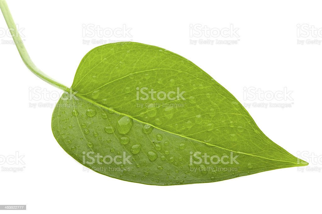 Leaf green and fresh isolation royalty-free stock photo