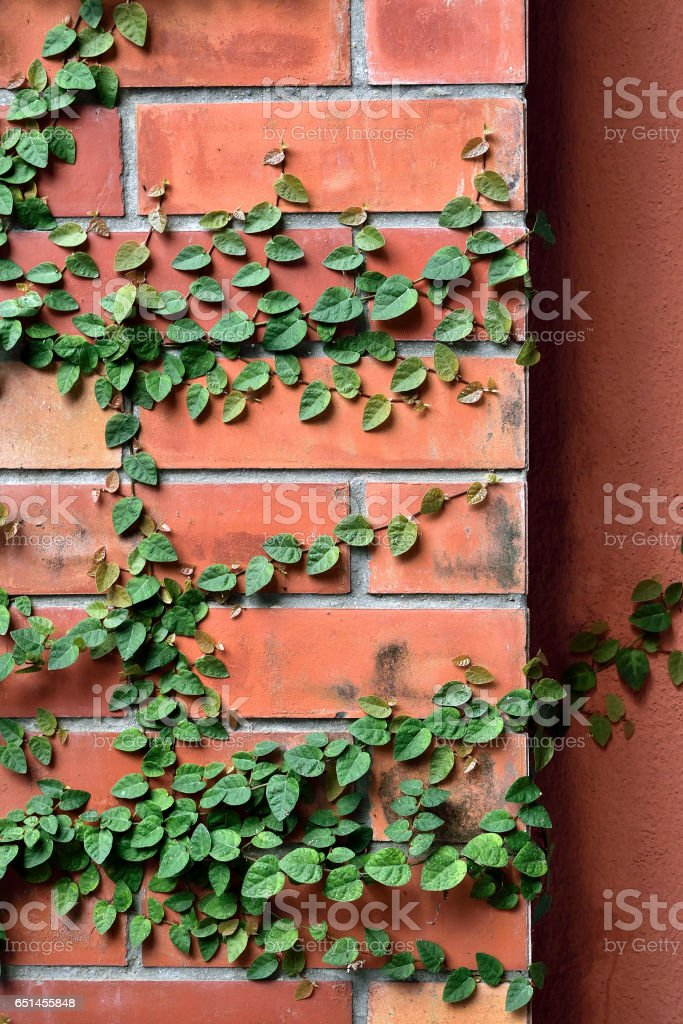 Leaf Green texture on red brick stock photo