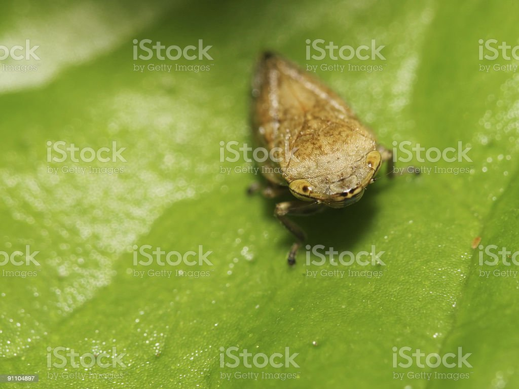 Leaf hopper 01 royalty-free stock photo