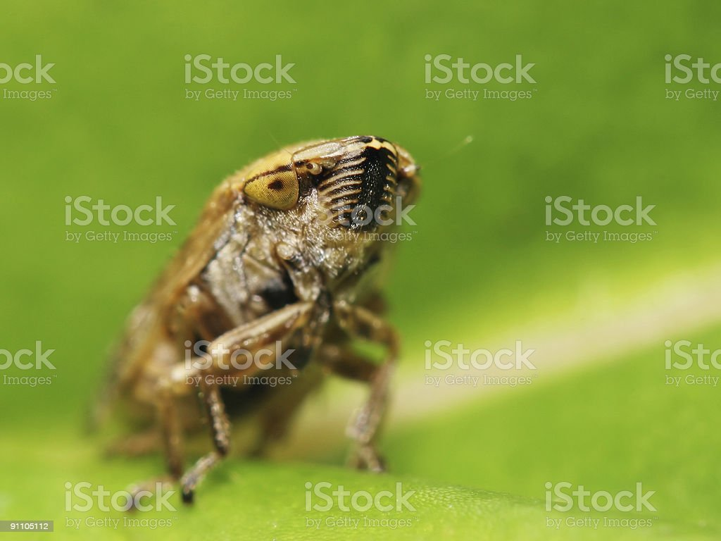 Leaf hopper 02 royalty-free stock photo