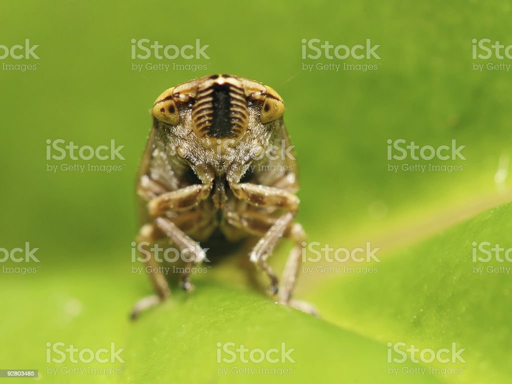 Leaf hopper 03 royalty-free stock photo