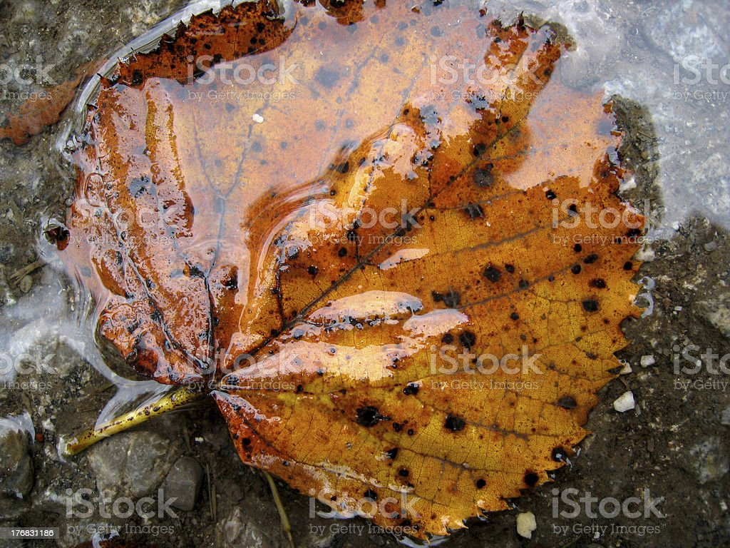 leaf  in a puddle stock photo