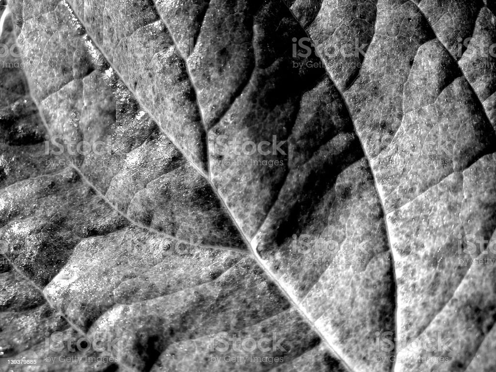 Leaf in Black and White royalty-free stock photo