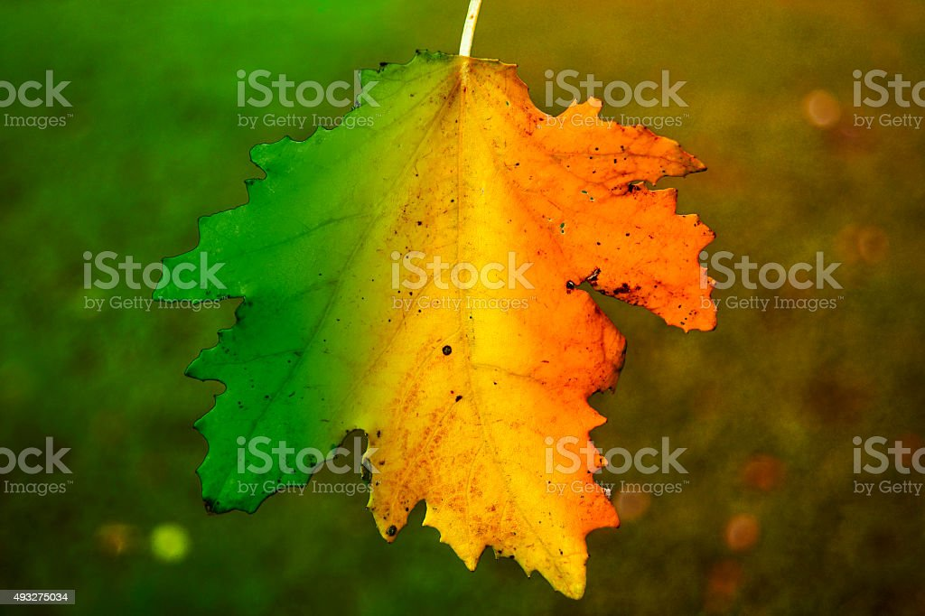 leaf in four seasons stock photo