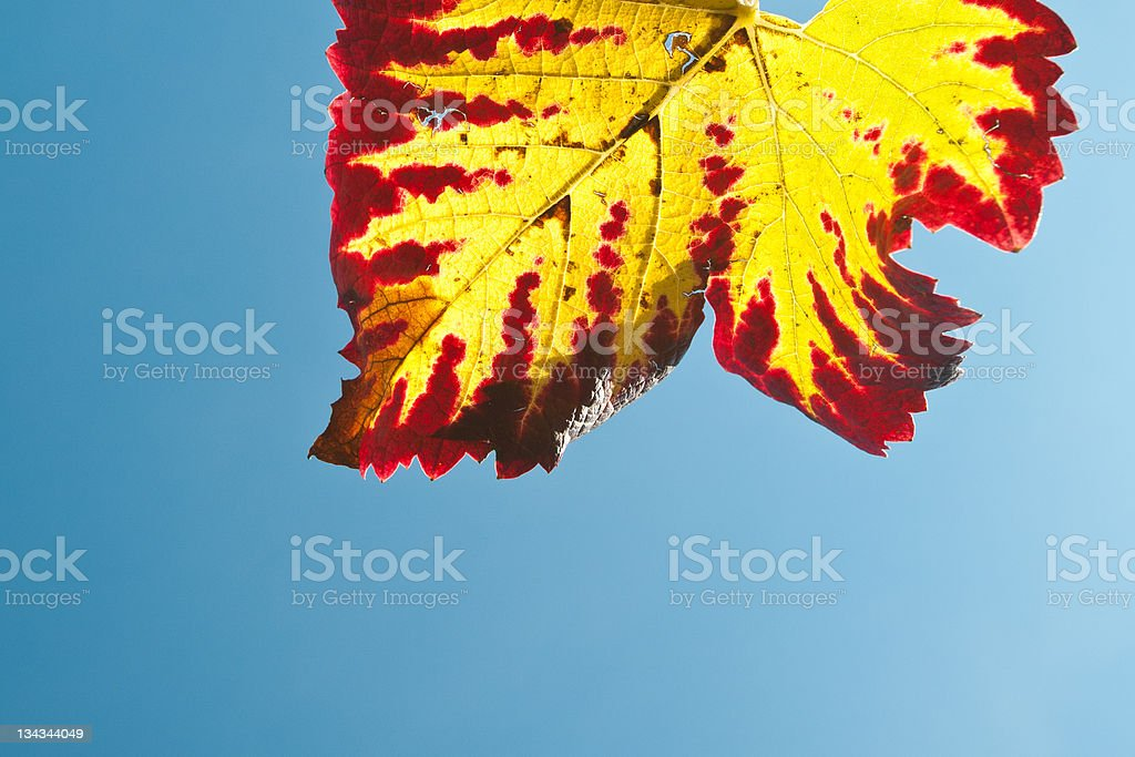 Leaf in red and yellow royalty-free stock photo